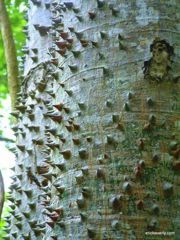The Ceiba Tree In La Ceiba.